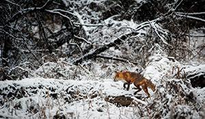 KJV warnt: Füchse übertragen Krankheiten –bloß nicht anfassen! - Der Pressedienst - Medienservice für Journalisten
