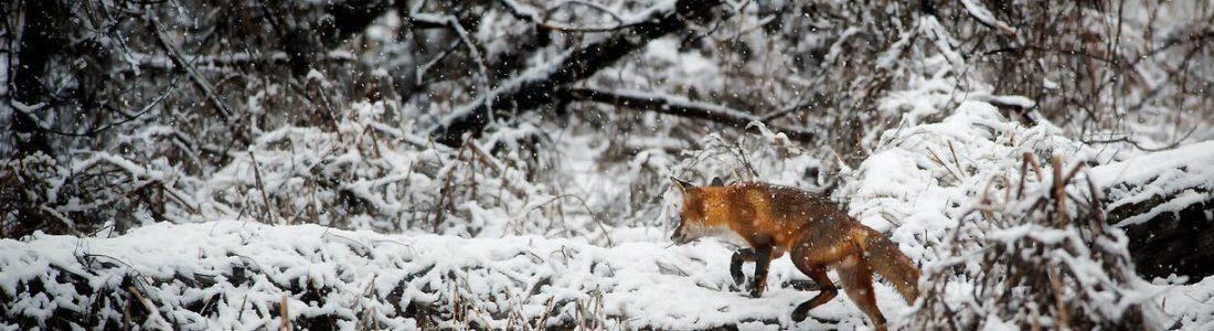 KJV warnt: Füchse übertragen Krankheiten –bloß nicht anfassen! | Medienservice für Journalisten