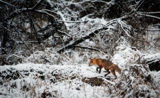 KJV warnt: Füchse übertragen Krankheiten –bloß nicht anfassen!